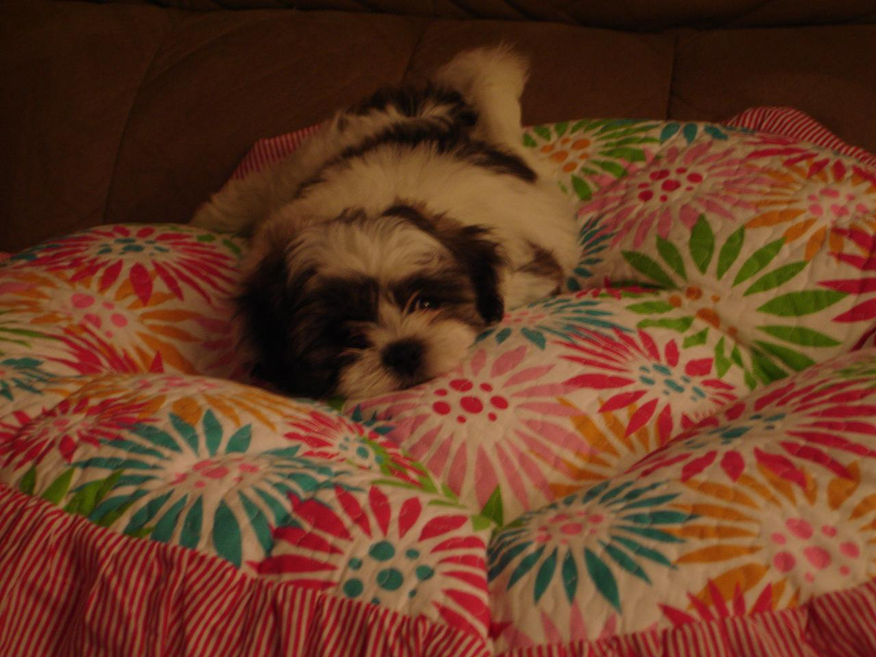 Shichon Express Fun Puppy Pictures